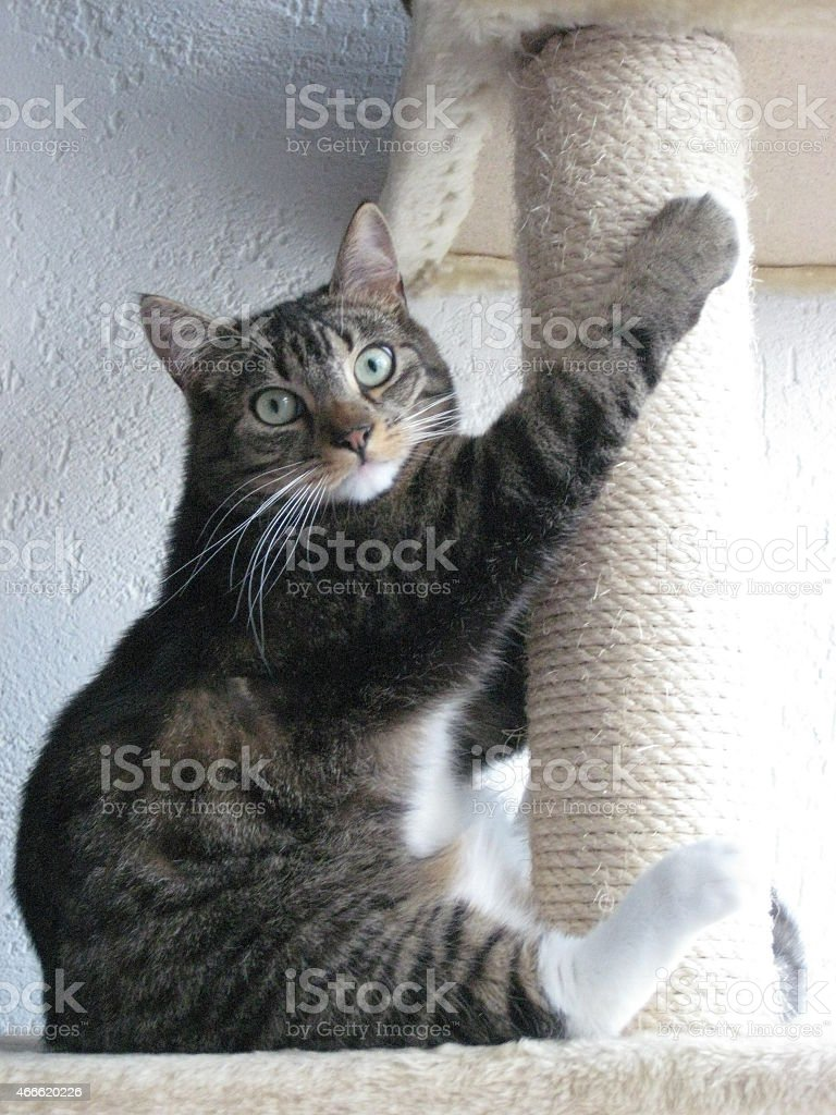 Cat behaving like a Squirrel stock photo