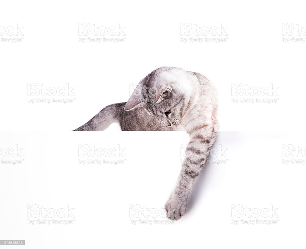 cat blank poster stock photo