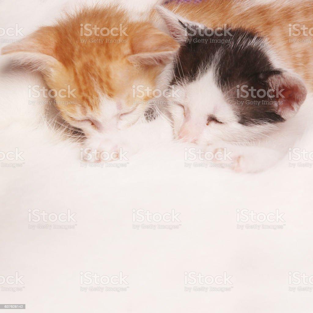 Cat breastfeeds kittens stock photo