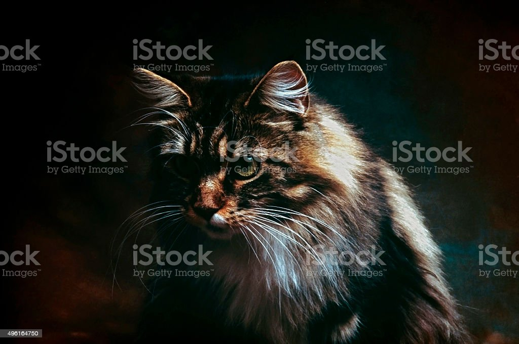 Cat breed 'Maine Coon' stock photo