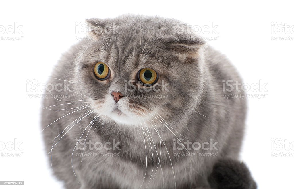 Cat breed Scottish fold. stock photo