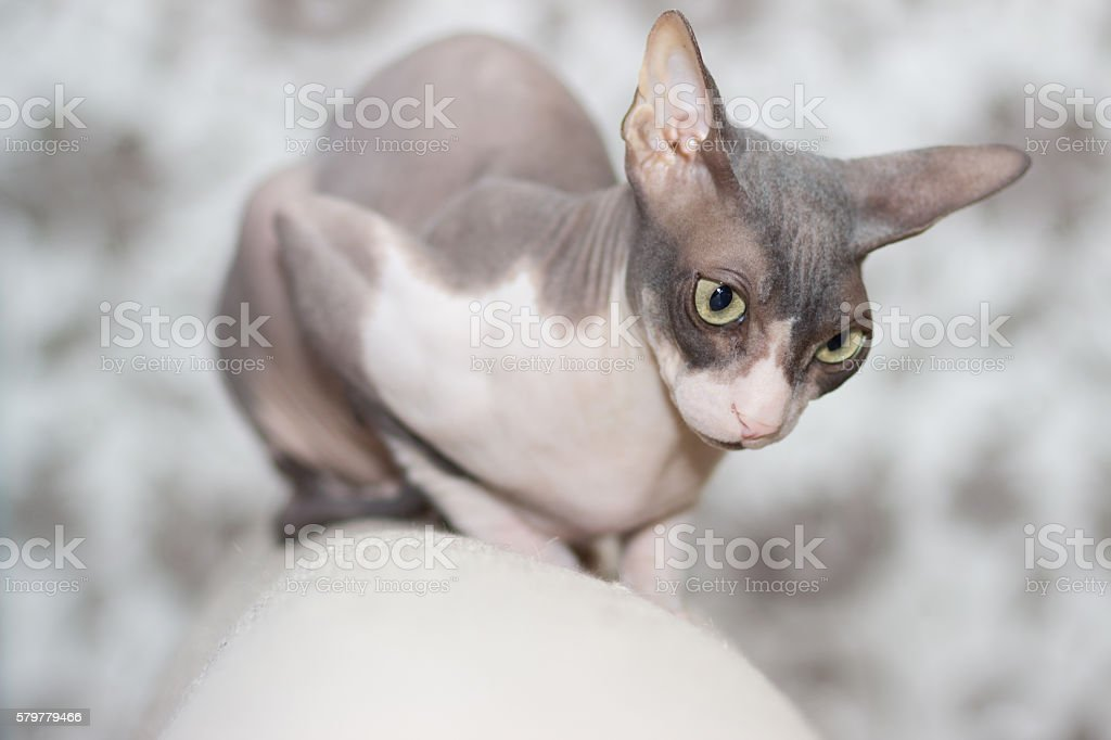 Cat breed sphinx sits on the back of the sofa stock photo