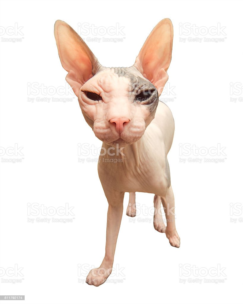 Cat breed Sphynx. stock photo