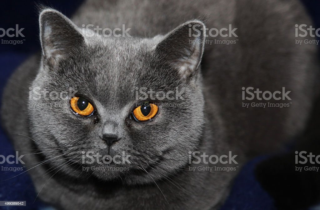 Cat breeds British Shorthair stock photo
