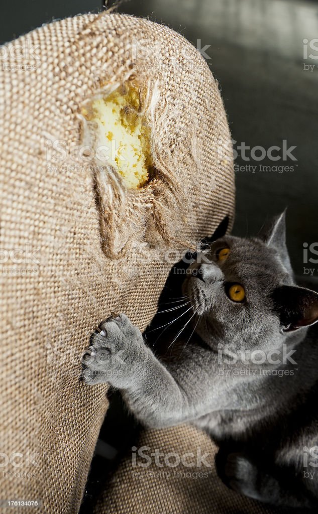 Cat British Shorthair being Naughty ripping chair with claws stock photo