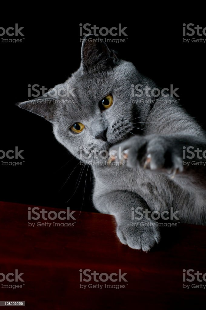 Cat british shorthair clawing the air stock photo