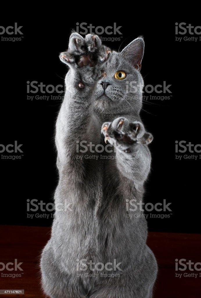 Cat british shorthair clawing the air royalty-free stock photo