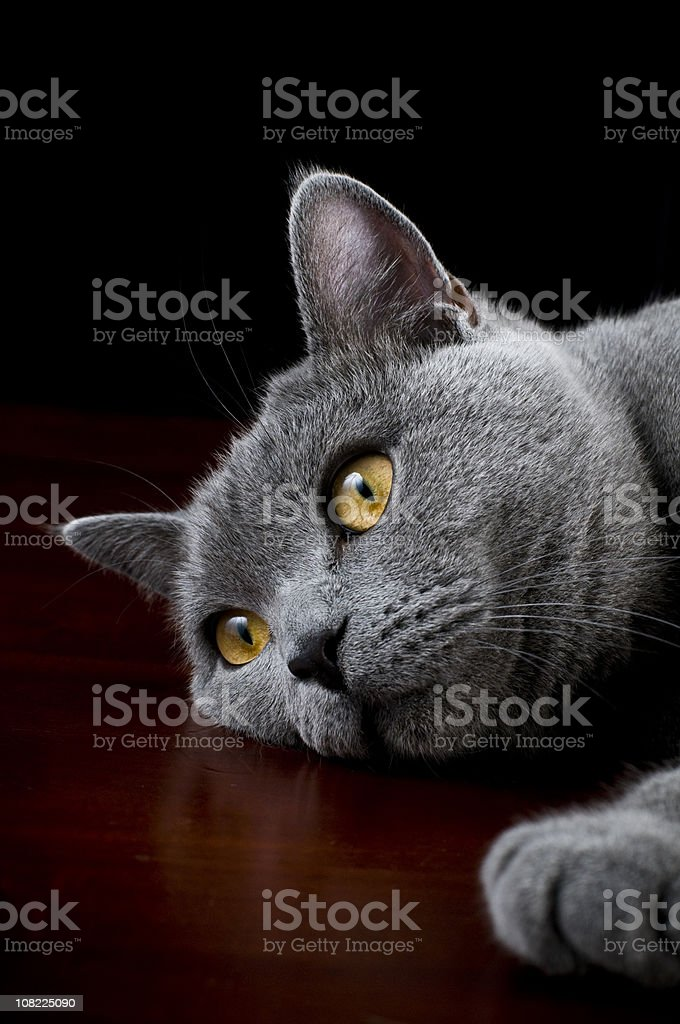 Cat british shorthair kitten posing for camera stock photo