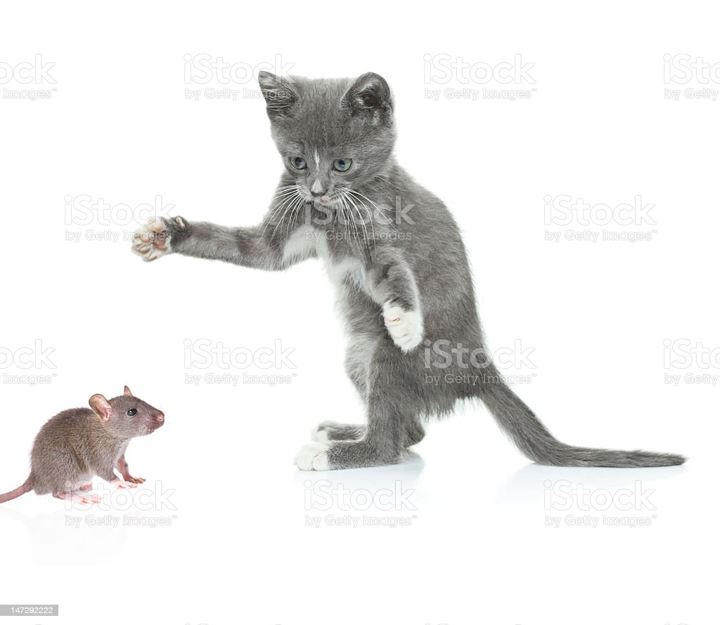 Cat catching a mouse royalty-free stock photo
