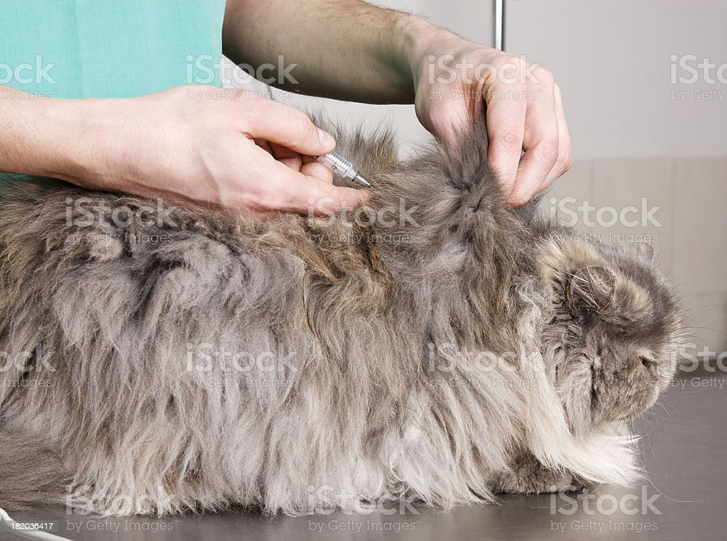 Cat check-up royalty-free stock photo