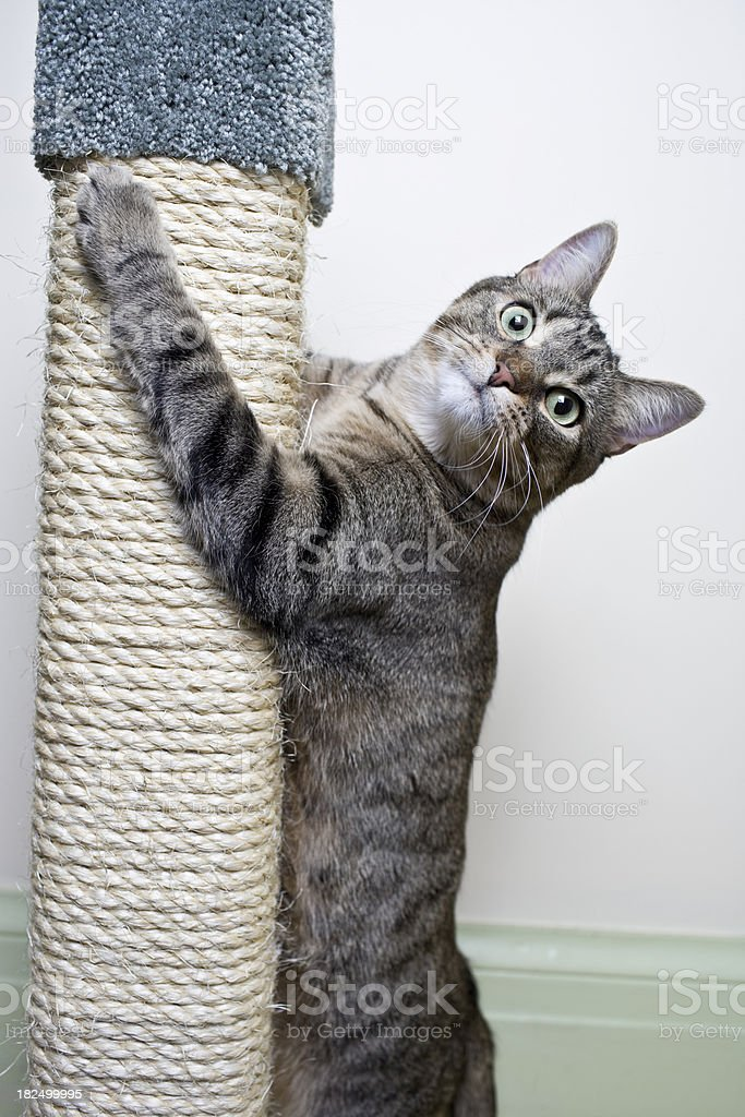 Cat Climbing on Scratch Post royalty-free stock photo