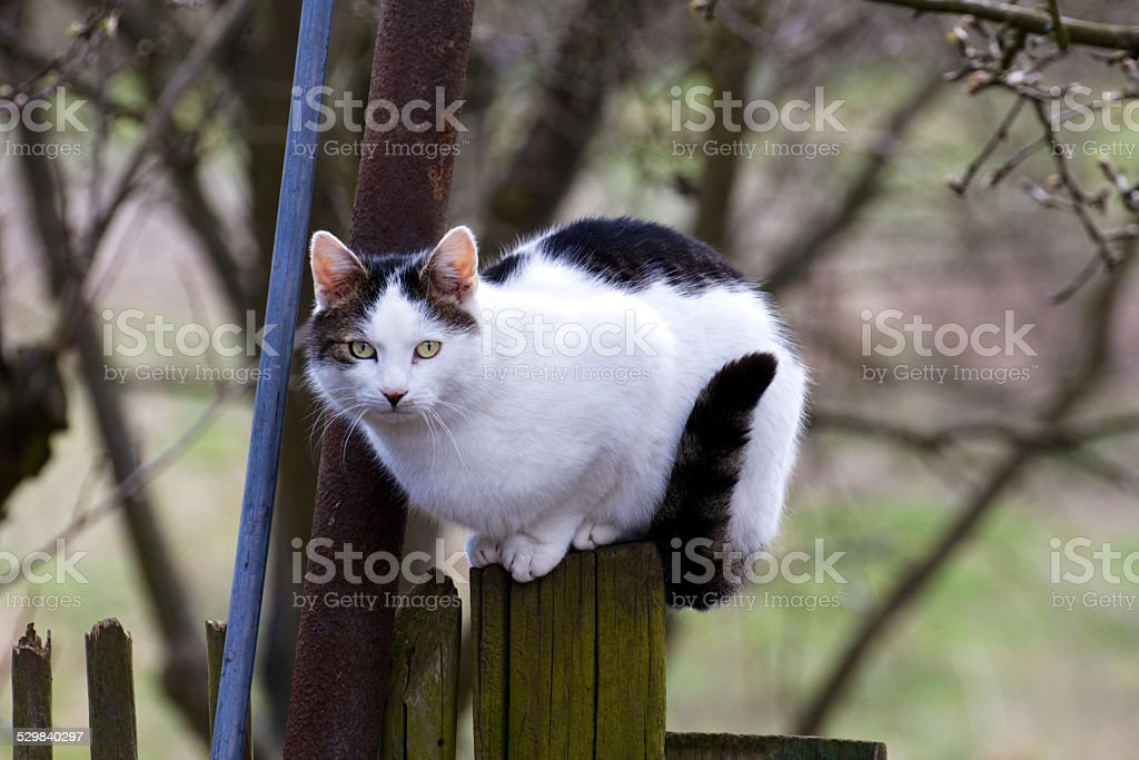 Cat Climbs on Country Fence stock photo