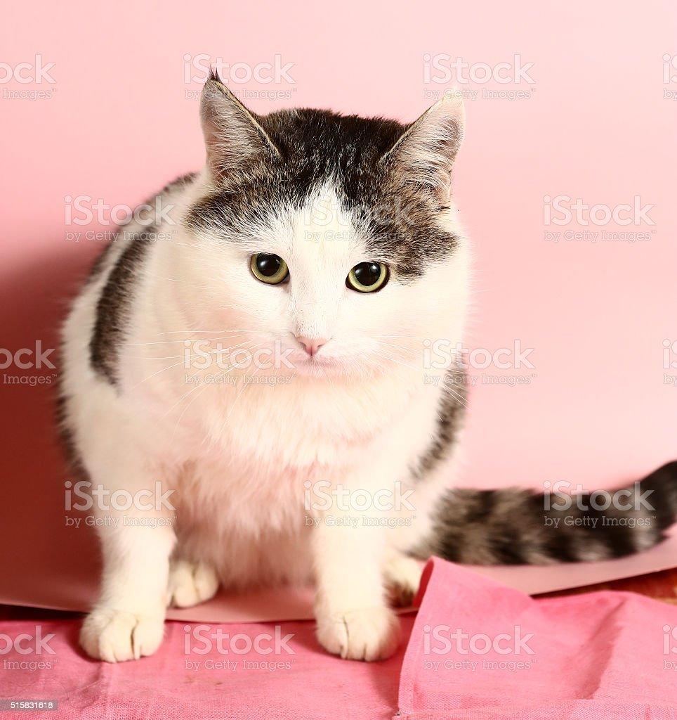 cat close up portrait on pink background stock photo