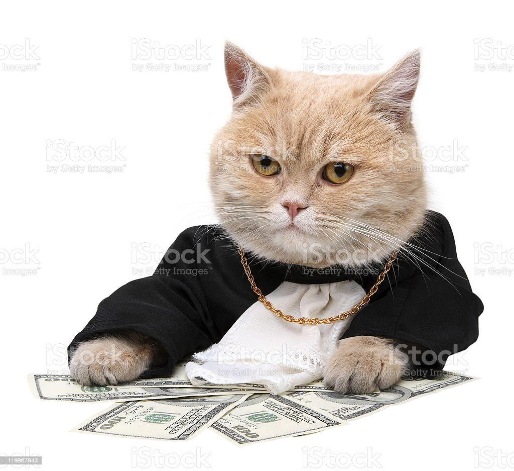 Cat dressed in a suit counting dollars stock photo