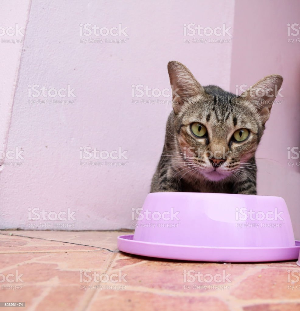 A cat eat food from pink feeding bowl. stock photo
