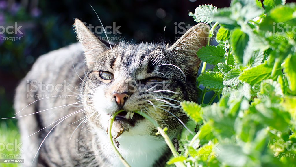 Cat eating Catmint stock photo