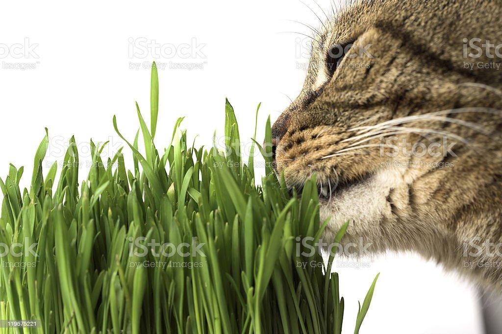 Cat eating grass stock photo