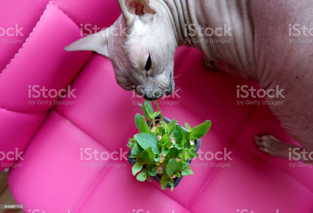 cat eats the grass from the pot stock photo