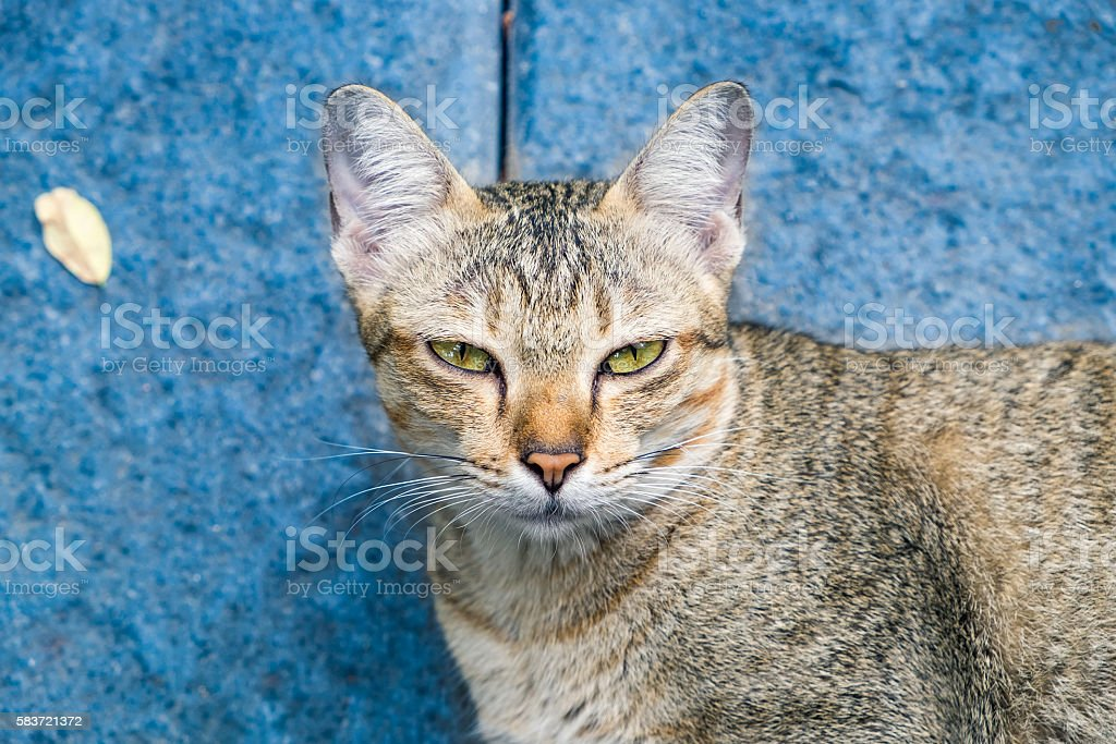 Cat eyes yellow looking stare disingenuous hypocrisy on blue background stock photo