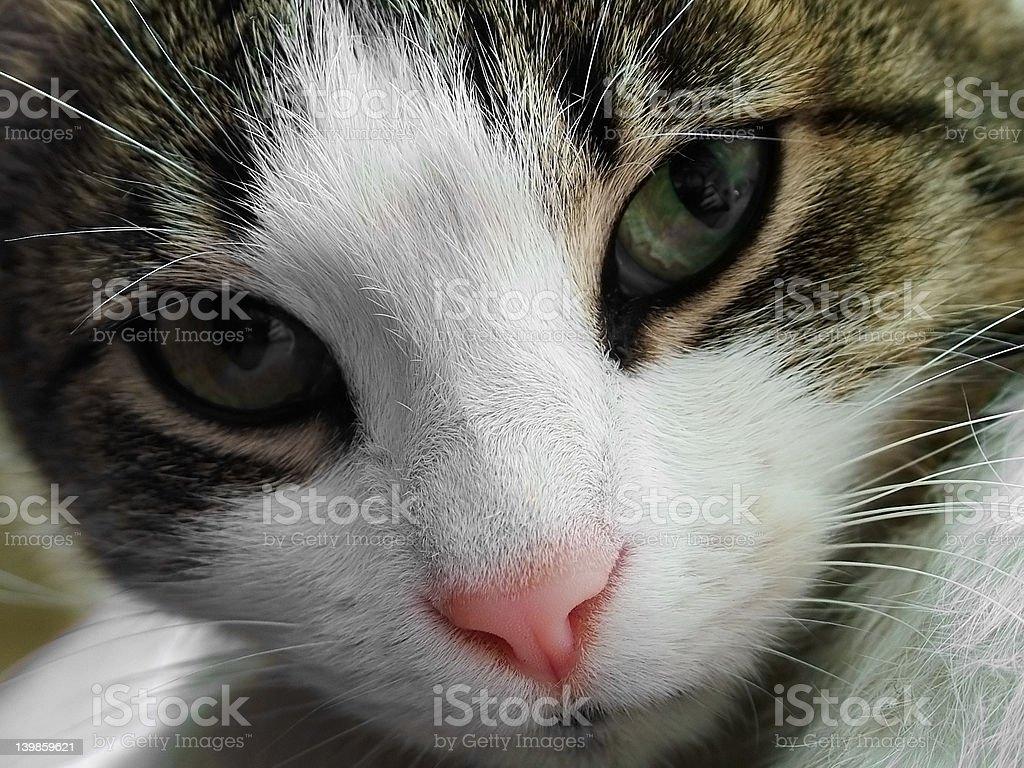 Cat face closeup royalty-free stock photo