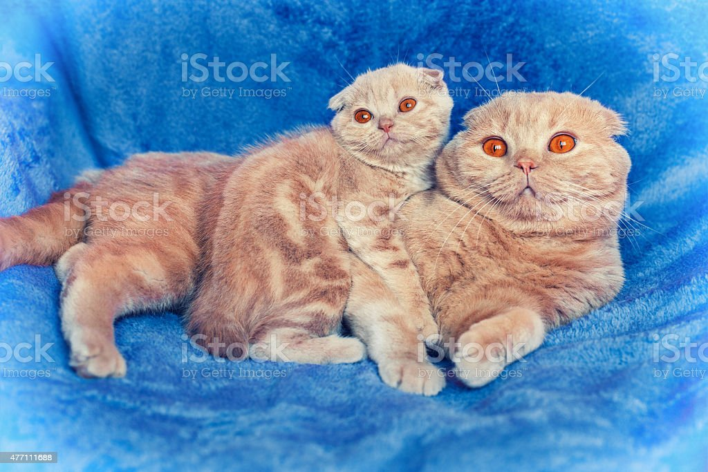 Cat family on blue blanket. Mom cat with kitten stock photo