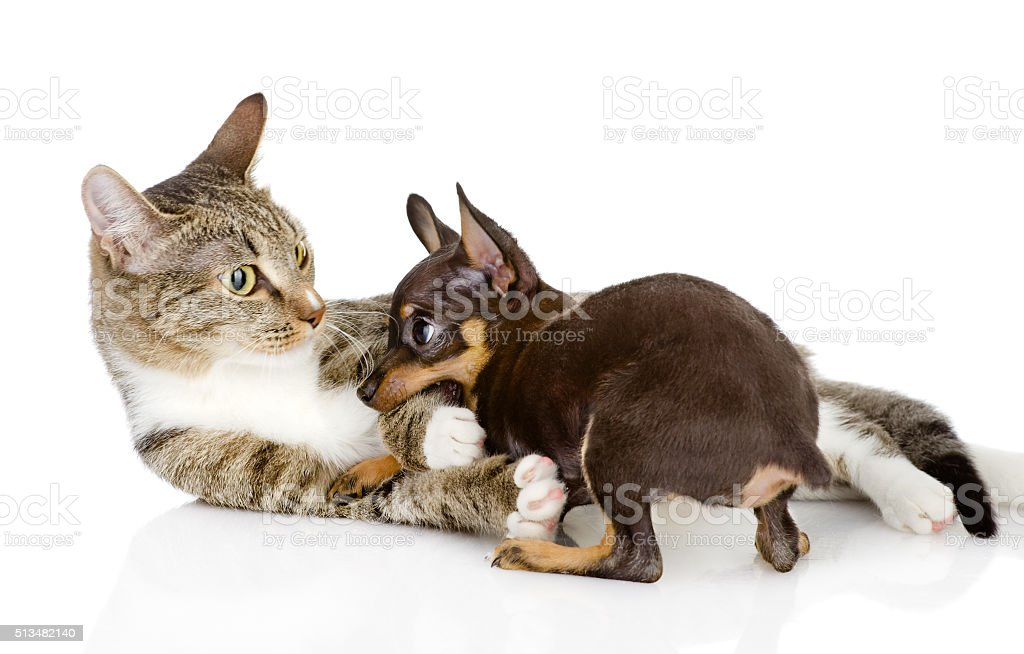 cat fights with a dog. isolated on white background stock photo
