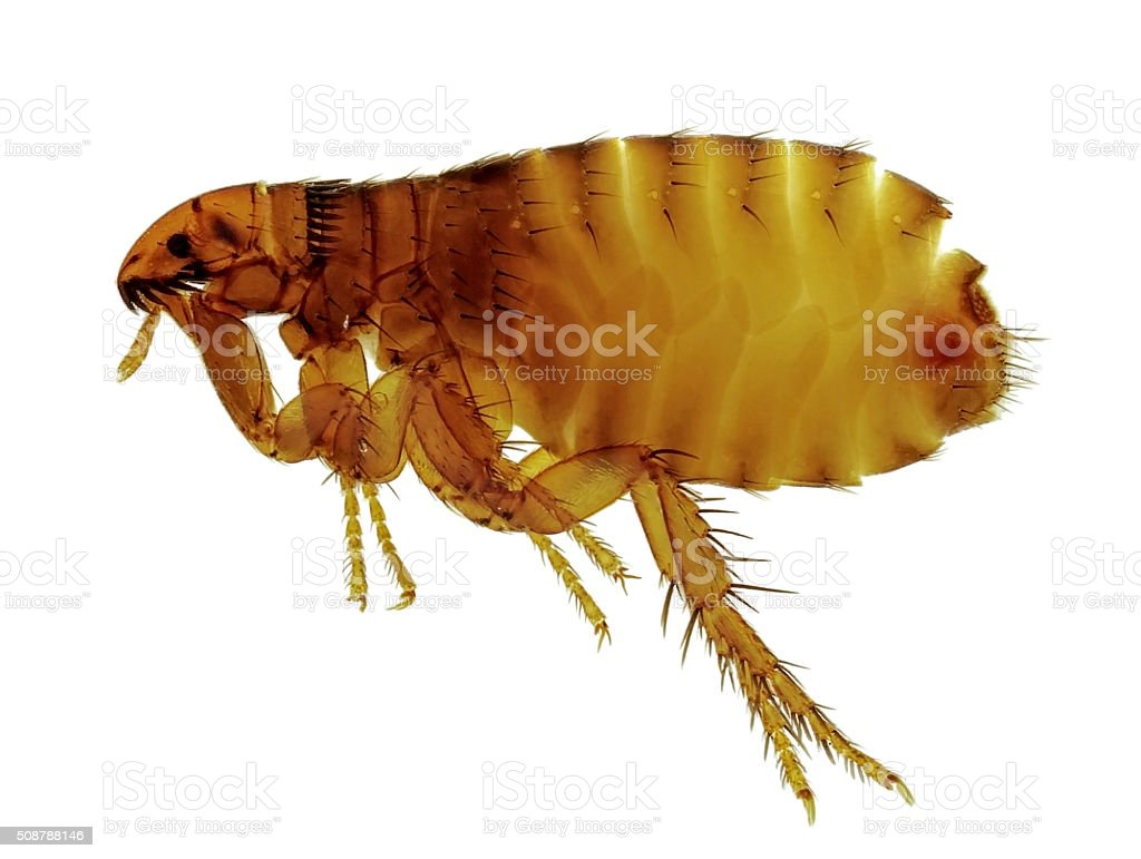 Cat flea (Ctenocephalides felis), attacking also humans. Isolated opn white stock photo