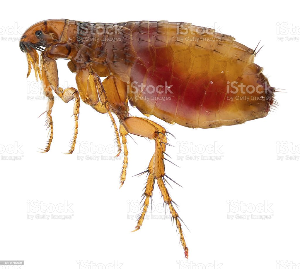 Cat flea full of human blood stock photo