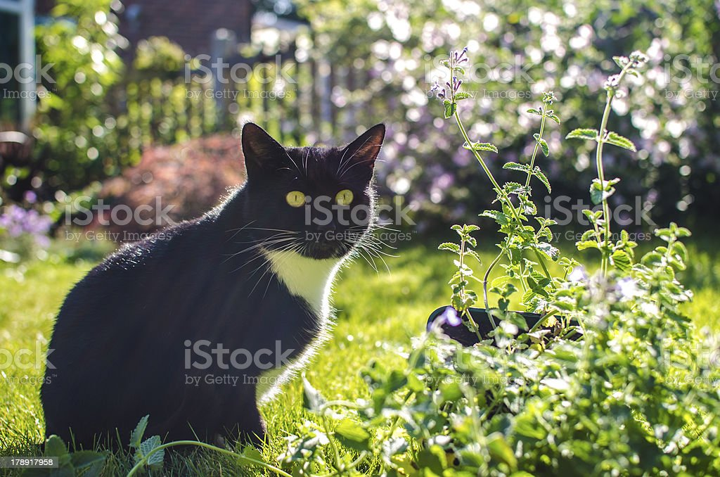 Cat found catnip plant in the garden royalty-free stock photo