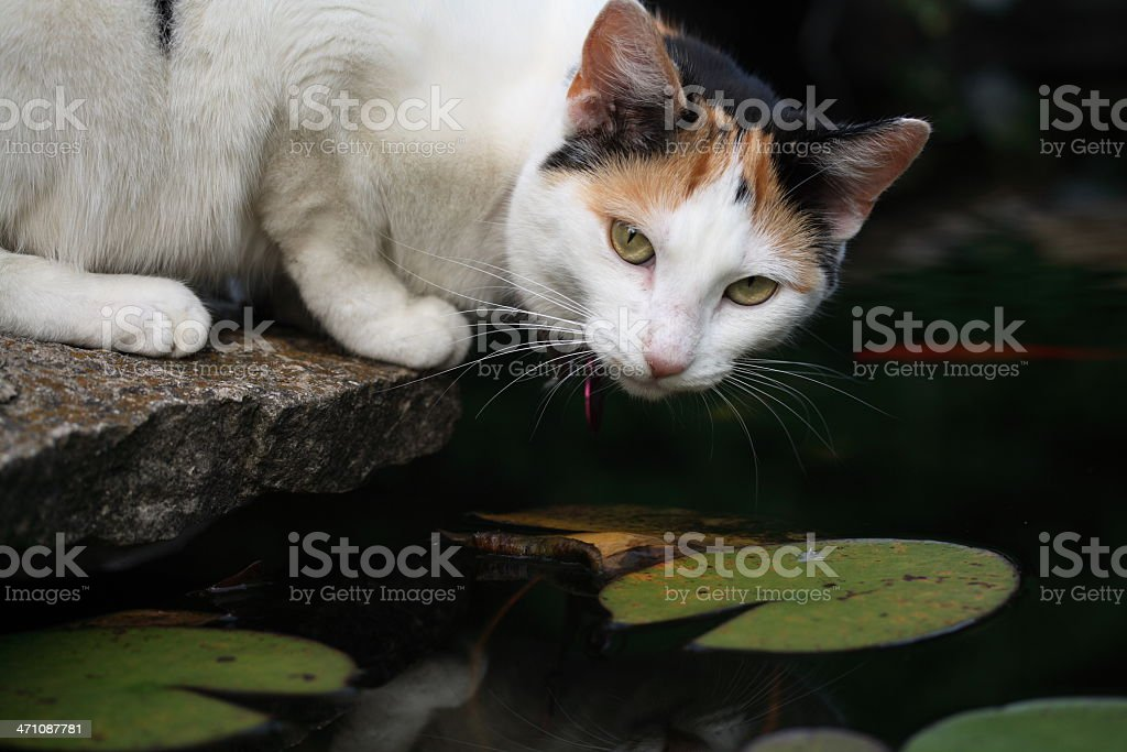 Cat, Goldfish, and Lilypond royalty-free stock photo