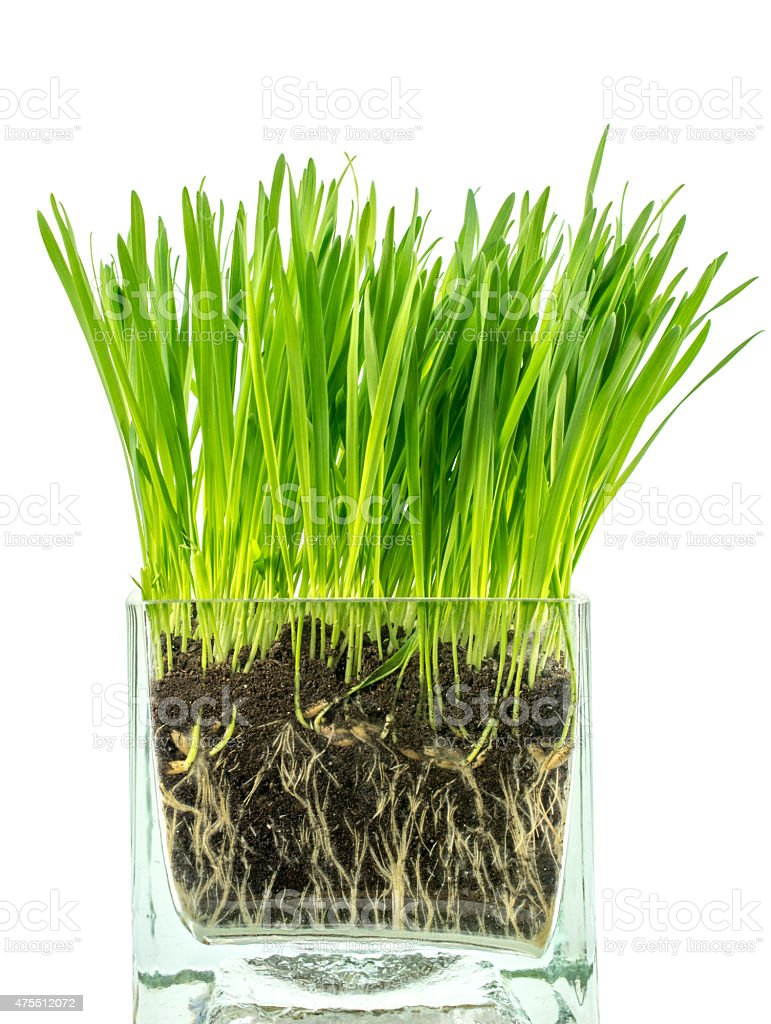 Cat grass in a glass container on a white background stock photo