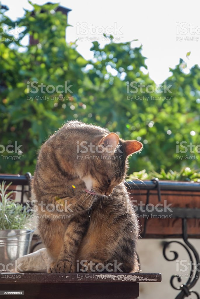Cat grooming stock photo