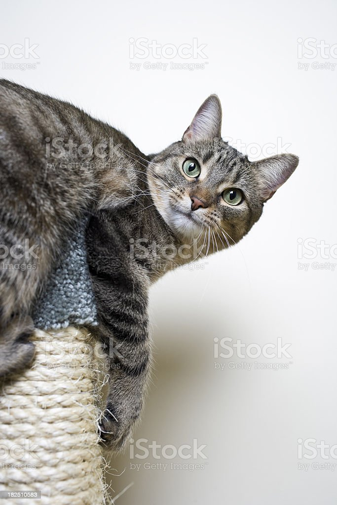 Cat Hanging on a Scratch Post royalty-free stock photo