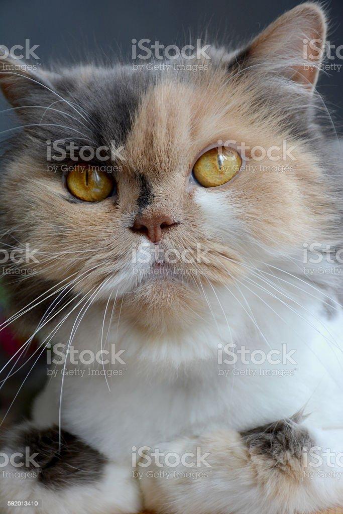 cat head royalty-free stock photo