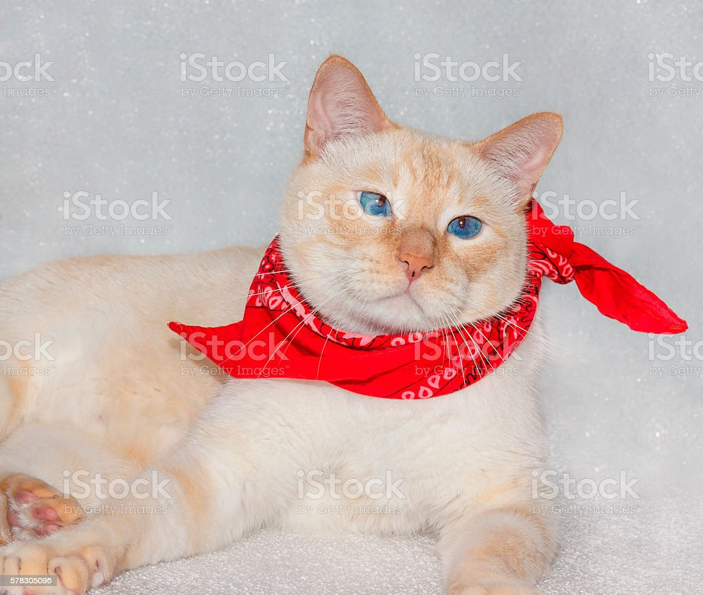 cat in a bandana stock photo