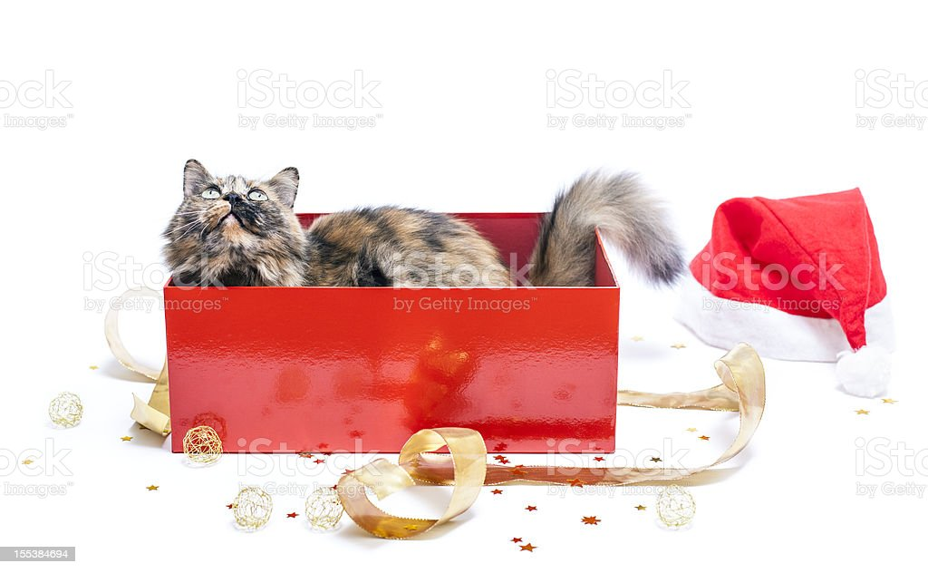 Cat in a red Christmas gift box on white background stock photo