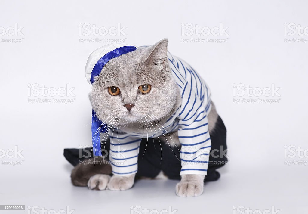 Cat in a suit of the seaman. stock photo
