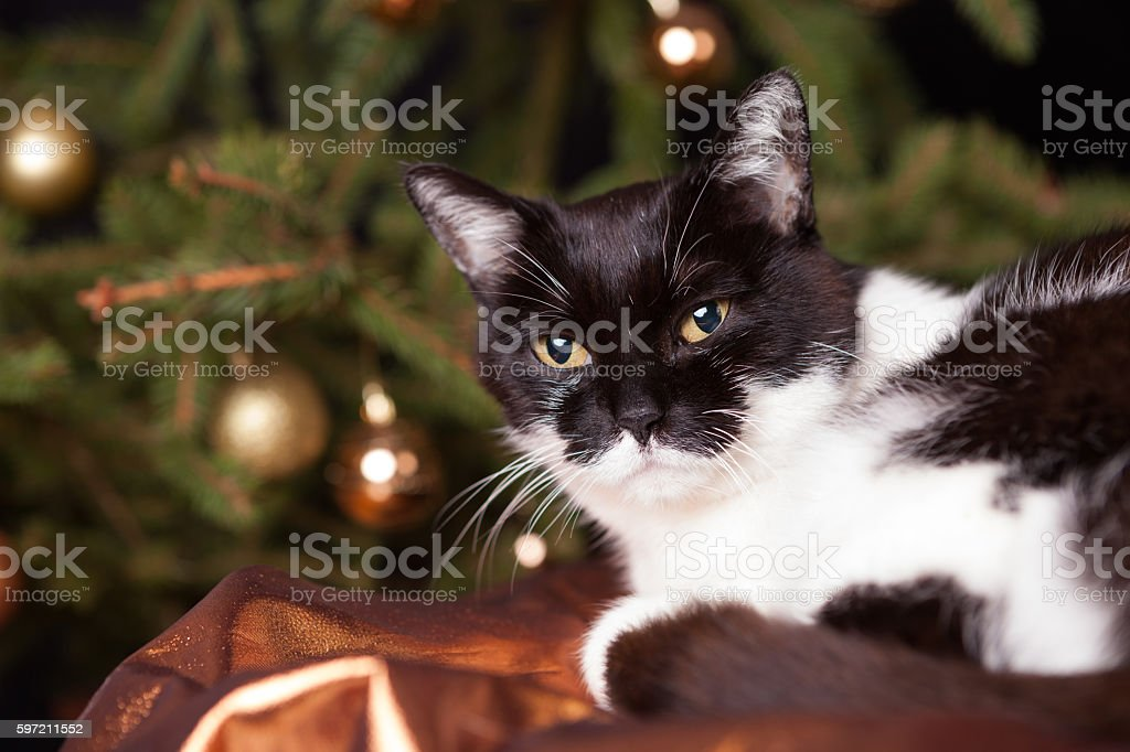 cat in front of christmas tree stock photo