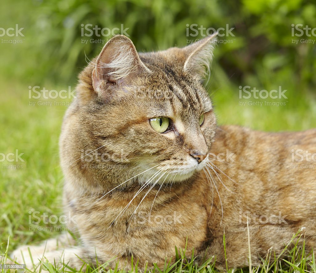 Cat In Grass royalty-free stock photo