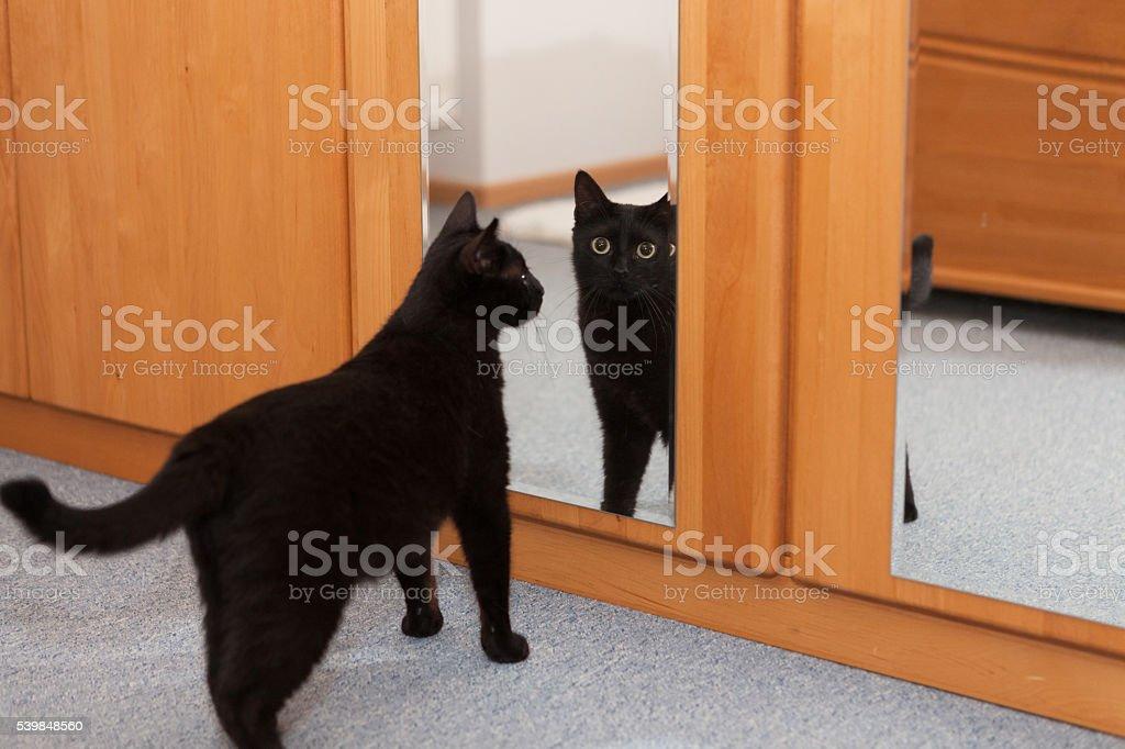 cat in mirror stock photo