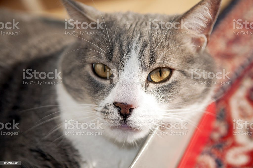 Cat in Shoe Box royalty-free stock photo