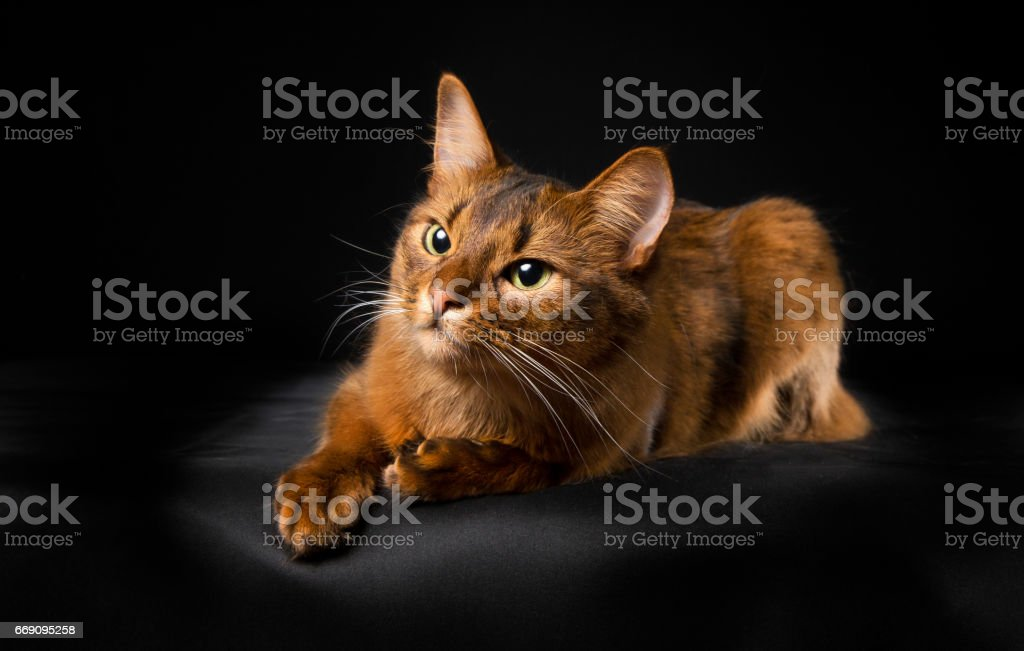 Cat in studio stock photo