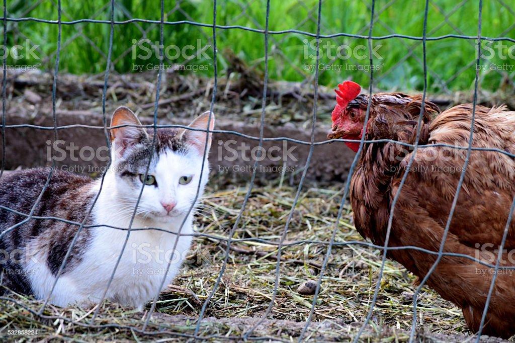 Cat in the chicken coop stock photo