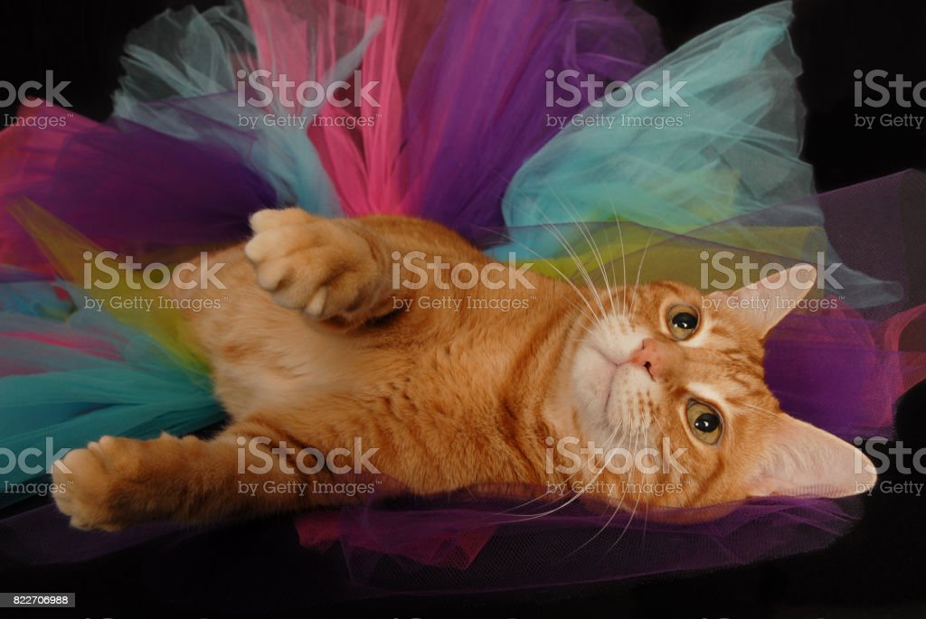 Cat in Tutu Looking Up stock photo