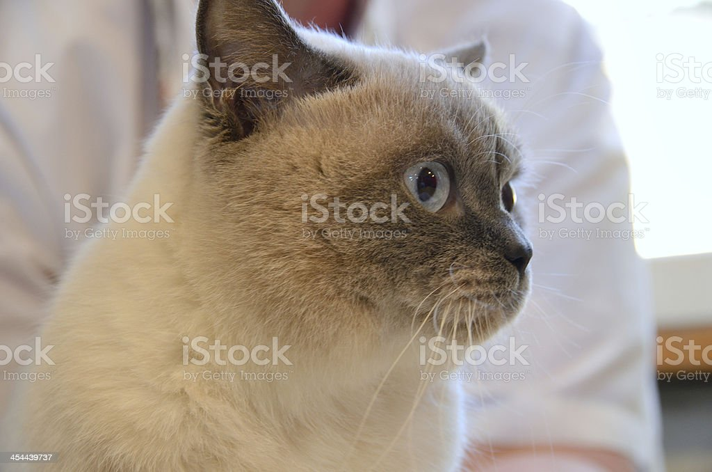 Cat in vet clinic royalty-free stock photo