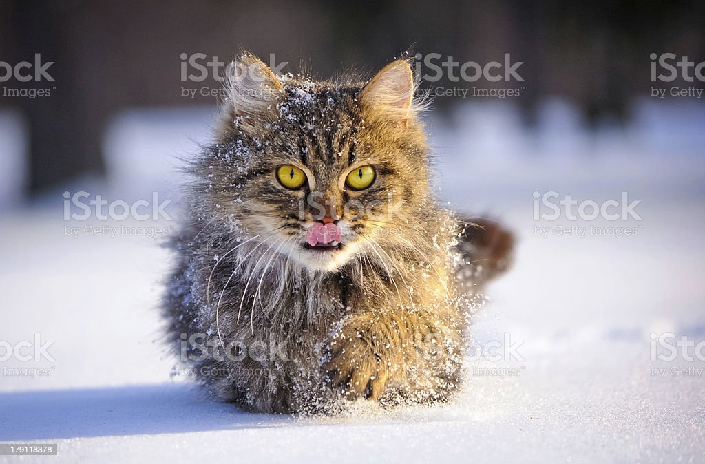 cat in winter royalty-free stock photo