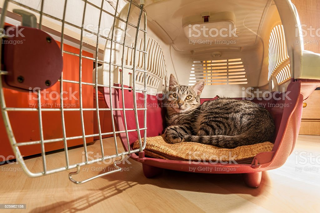 Cat into its pet carrier stock photo