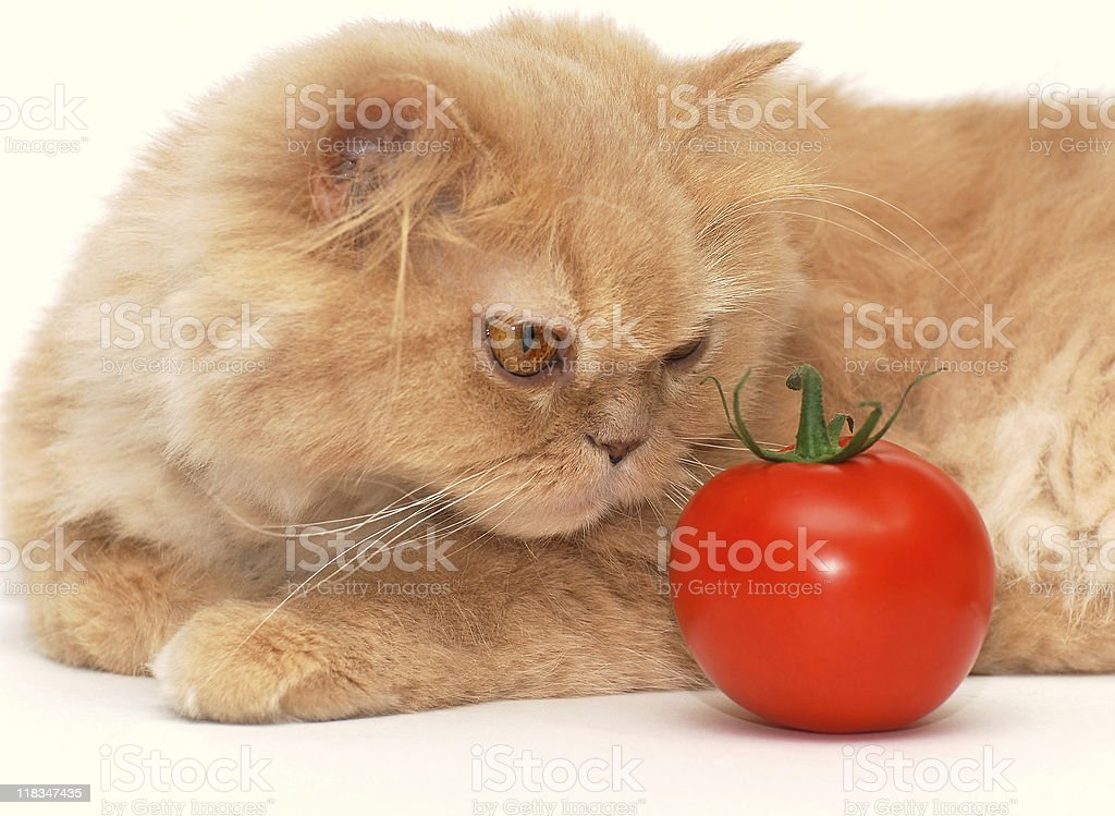Cat is smelling the tomato royalty-free stock photo