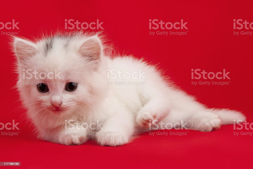 cat laying down on a red background royalty-free stock photo