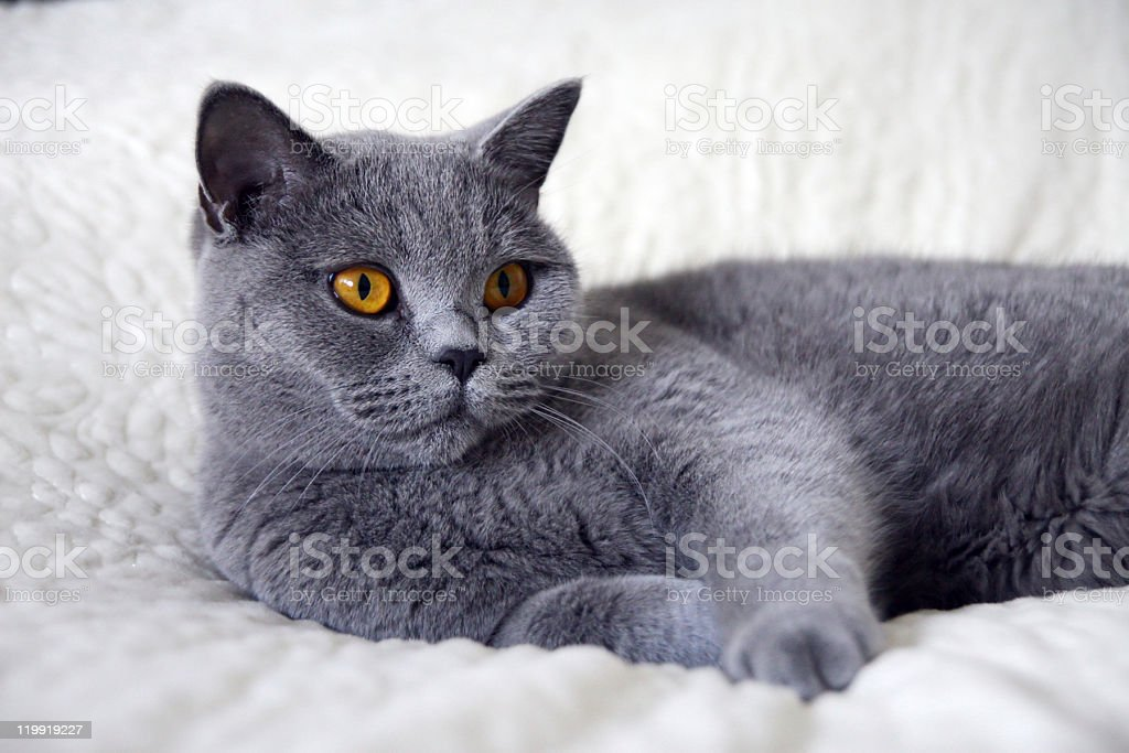 Cat laying on bed stock photo